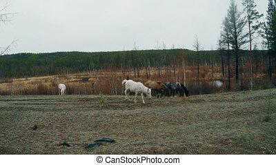 Herd your horses graze in nature 4K footage