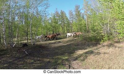 Herd your horses graze in nature Full HD footage