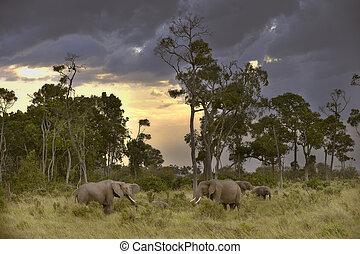 herde, dämmerung, elefanten