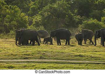 herde elefanten, an, sonnenuntergang
