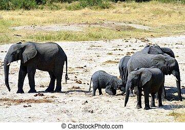 herde elefanten, in, durchsuchung, von, wasser