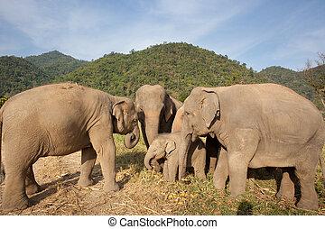 herde elefanten, in, thailand