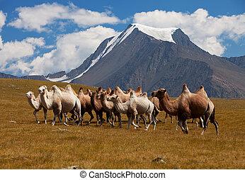 herde, kamele, gegen, mountain., altay, berge., mongolia