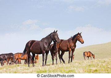 herde pferde, auf, a, weide, in, berge, der, caucasus, russland