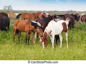 herde pferde, gleichfalls, weiden lassen, auf, a, sommer, wiese, früh morgens