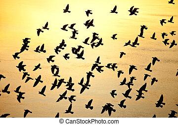 herde, silhouette, vögel