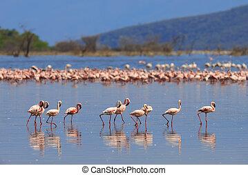 herde, von, flamingos, waten