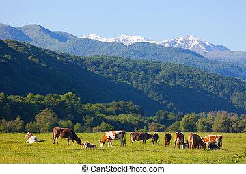 herde, von, kühe, gleichfalls, weiden lassen, auf, a, sommer, weide, gegen, schneebedeckt, berge, in, a, sonniger tag