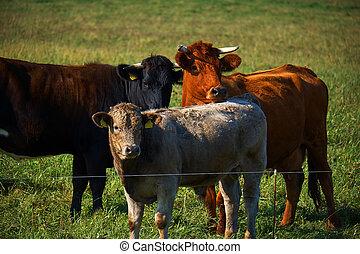 herde, von, kühe weiden, auf, a, grüne wiese