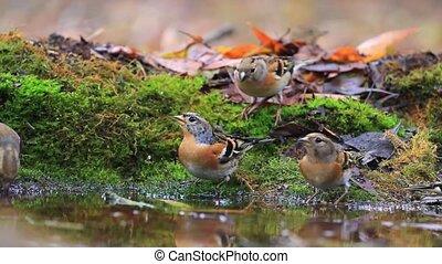 herde, von, selten, vögel, trinkwasser