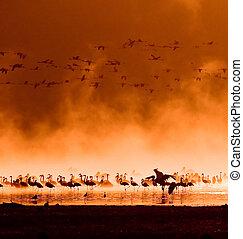 herden, von, flamingos, in, der, sonnenaufgang
