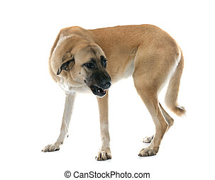 herdershond, agressief, anatolian, dog
