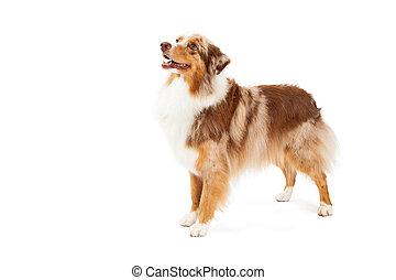 herdershond, australiër, dog