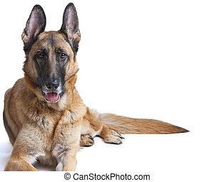 herdershond, duitser, het leggen, dog, dons, vrouwlijk