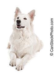 herdershond, witte hond