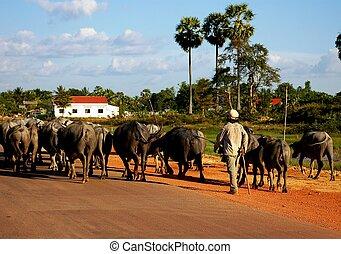 Herding buffaloes in Cambodia
