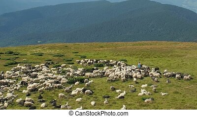 Herdmen and flock of sheep on mountain pasture. Extreme long...