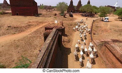 Wide high-angle still shot of herd of cattle moving along a tarmac ked desert road, Bagan, Myanmar