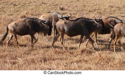 Herds of wildebeests in Ngorongoro - Herds of gnus and...