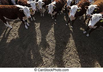 hereford の牛