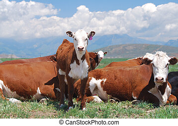 Hereford Calf - Hereford calf standing near cows.