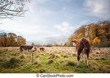 Hereford cattle on a meadow in the fall