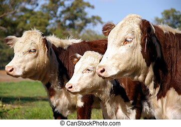 Herefords - Threesome