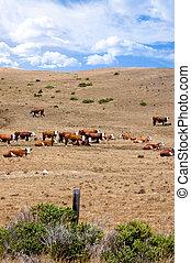 A heard of white-faced cattle on a hillside