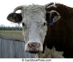 Herford Cow