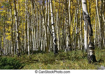 herfst, aspens
