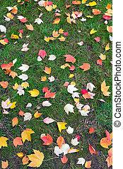 herfst, de boom van de esdoorn, bladeren, op, groen gazon