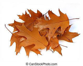 herfst, eik loof, op wit, achtergrond