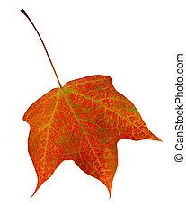 herfst, esdoorn blad