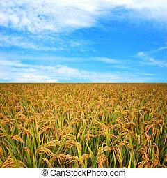 herfst, rijst veld