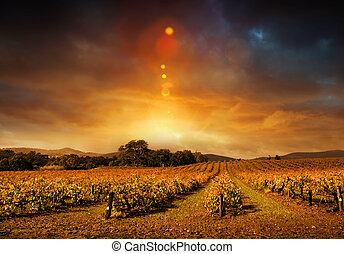 herfst, wijngaard, ondergaande zon