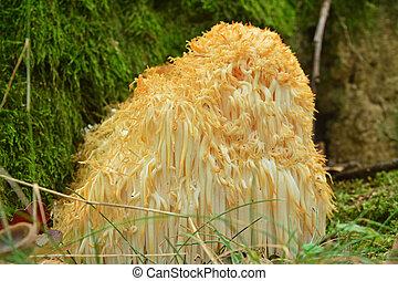 Hericium erinaceus fungus known as the lion`s mane or ...