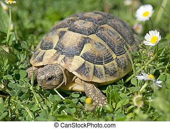 hermann's, sköldpadda, in, gräs