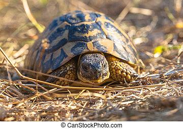 Hermann's tortoise (Testudo hermanni) is one of five ...