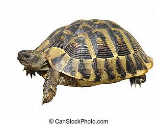 Herman's Tortoise turtle isolated on white background testudo hermanni