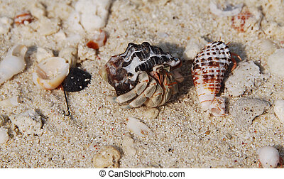 Hermit Crab A