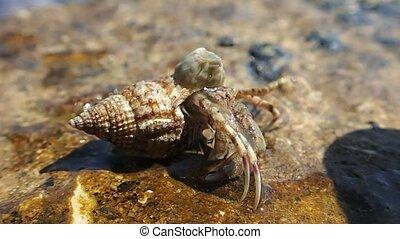 Hermit crab - A hermit crab