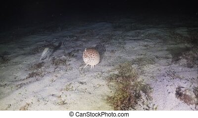 Hermit crab at night diving. Philippines, Mindoro - Hermit...