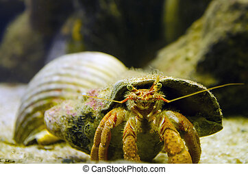 Hermit Crab carry his shell underwater