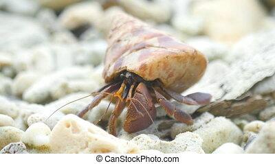 Hermit crab crawling on the beach - Big Hermit crab crawling...