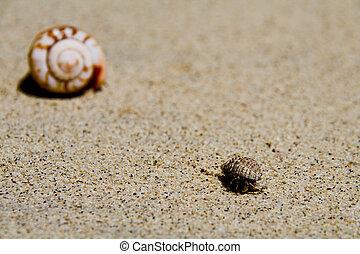 Hermit Crab - a common hermit crab on the white samoan beach
