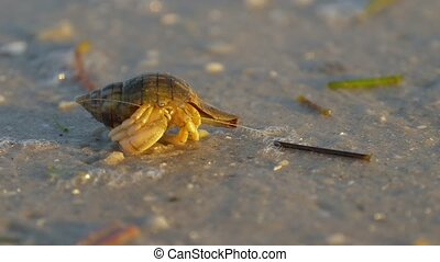 Hermit crab macro view. Small hermit crab in the sand....
