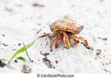 Hermit crab on a tropical beach - A small orange hermit crab...