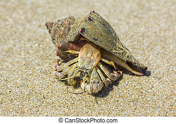 hermit crab on the beach in Hua Hin,Thailand
