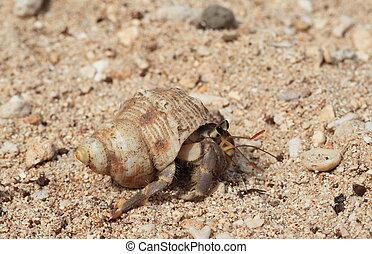 hermit crab on the sand - A hermit crab on the sand.