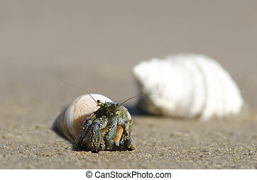 Hermit Crab - A hermit crab with a sea shell on the beach.
